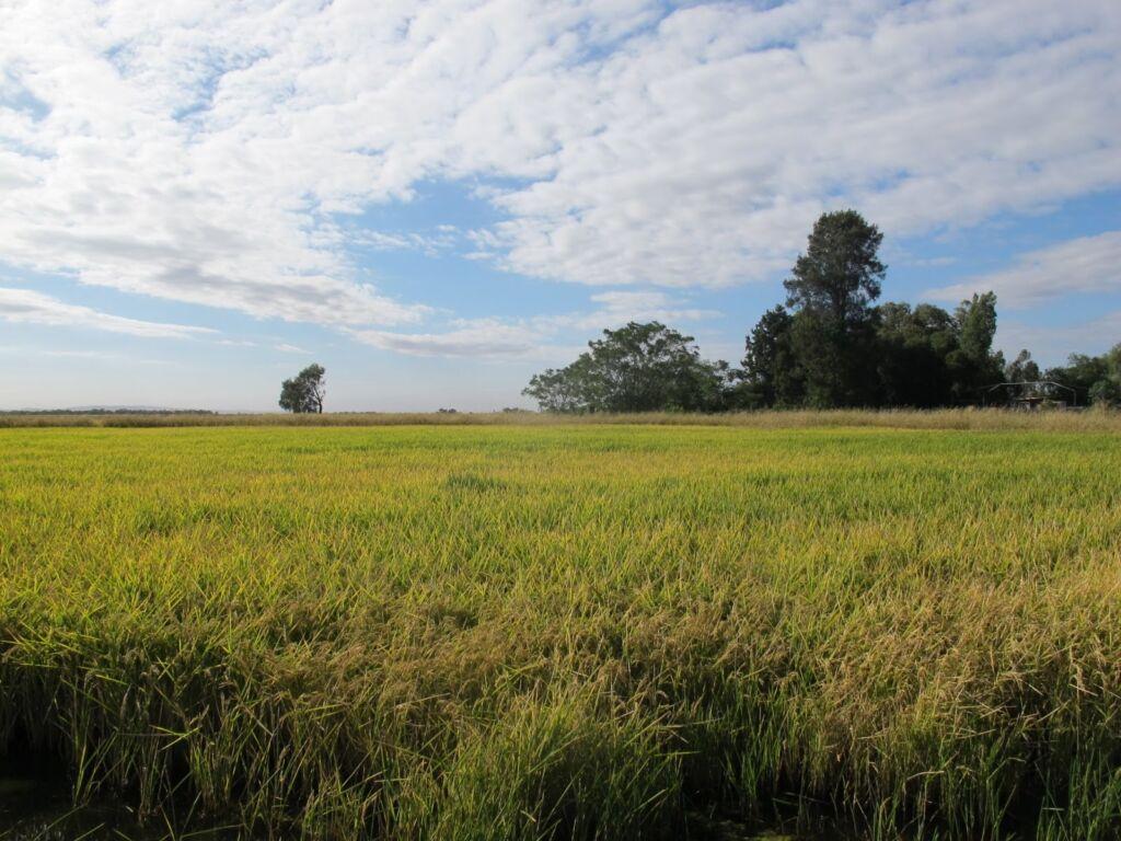 panorámica arrozales