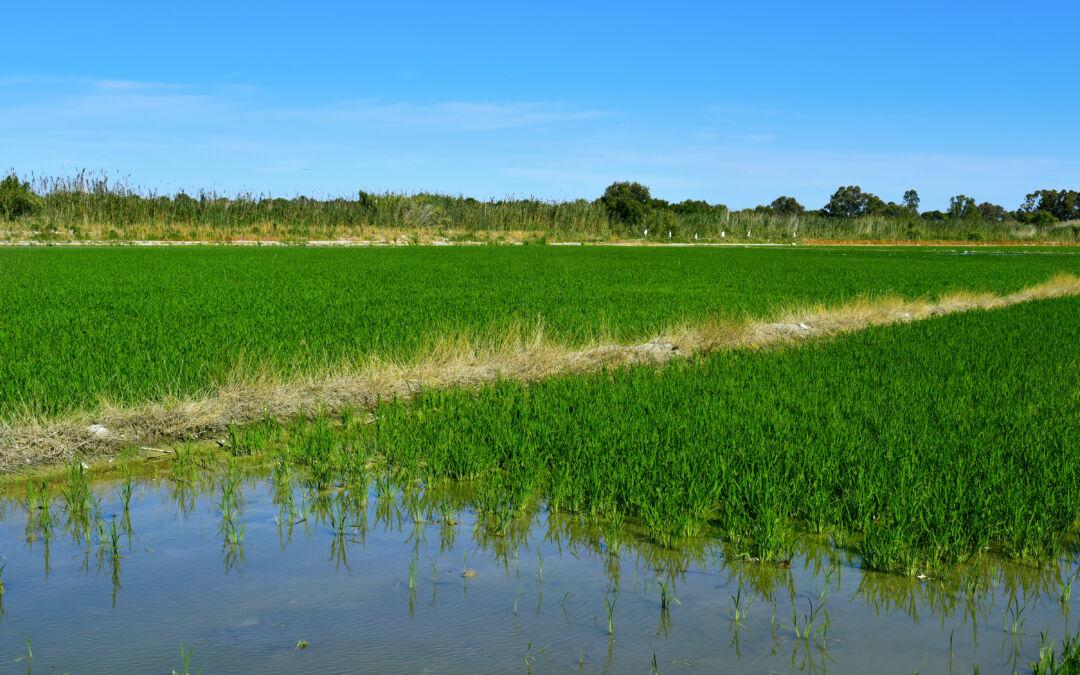 El cultivo del arroz, una actividad histórica