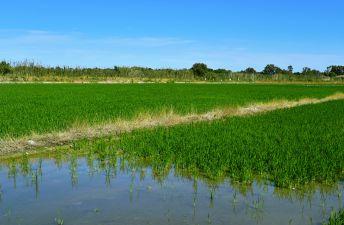 cultivo del arroz en la Albufera